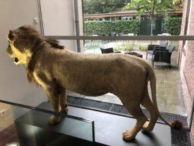 Leeuw in het museum